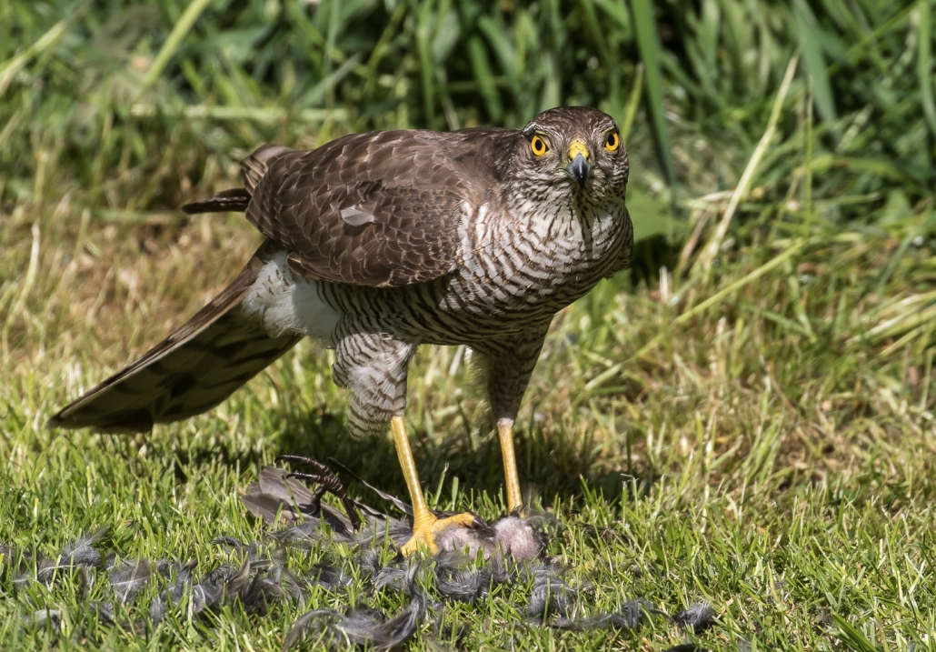 Sparrowhawk Yateley